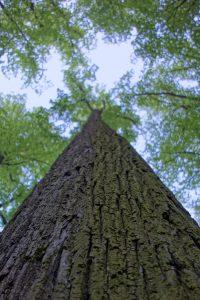 Lipa, czyli drzewo
