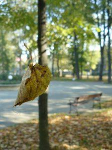 Coraz cieńsza staje się nić łącząca osobę z miejscem, nie po drodze rozumowi z ojcowizną. Lipowy liść, trzymający się dwóch pajęczych nici. Park Miejski w Jaśle, 9 października 2010 r. (fot. ja).